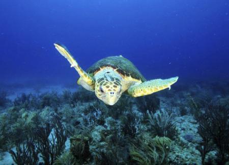 loggerhead-sea-turtle_11263_600x450.jpg